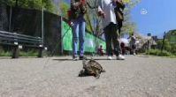 Tasmayla Kaplumbağa Gezdirmek