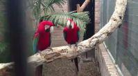 Rapçi papağanlar