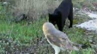 Baykuş Ve Kedinin Dostluğu