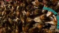 Bal Arısı Dünyanın En Büyük Arısına Karşı