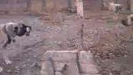 saf sivas kangalı