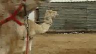 deve güreşi
