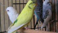 tarsus muhabbet kuşları
