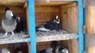 tahirin adana güvercinleri