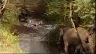 Aslanların Zebra Avı