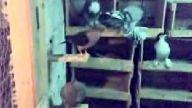 sunay güler-süs güvercinleri