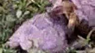Kaplumbağa Larda Çiftleşme