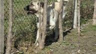 türk çoban köpekleri