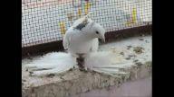 güvercin paçalı