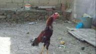 hint horozları ve tavukları bebekonur55