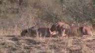 Aslanların Hezimete Uğrayışı