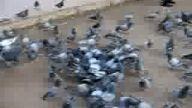 münevver düver güvercİnler