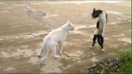 Kediden kobra hareketi