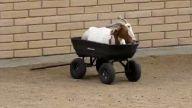 Keçinin araba keyfi