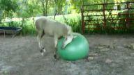 Atın pilates topu ile eğlencesi