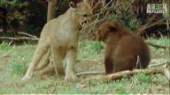 Cesur yavru ayı dağ aslanına karşı