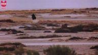 Aslanların başarısız bir av girişimi