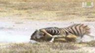 Ölümcül mücadeleyi bu kez zebra kazanıyor