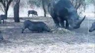 Gergedan yaban domuzuna acımadı