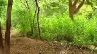 Kaplanla dalga geçen maymun