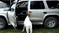 Zeki keçi araba kapılarını açıyor