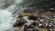 Yavru dağ keçisinin azgın sularda yaşam mücadelesi