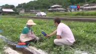 japonyada kare şeklinde yetiştirilen karpuz
