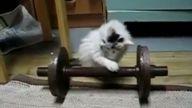 Halterci kedi