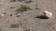 cıvcıve saldıran kertenkele