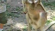 çocuk kangurudan fena yumruk yedı