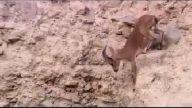 Bir Dağ Keçisinin Hayata Tutunma Mücadelesi