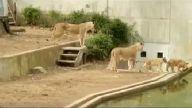 Yavru Aslanların İlk Yüzme Dersi