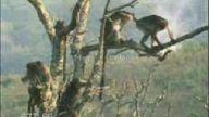 Abaza Maymunlar