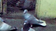 filo güvercinleri-osmaniye