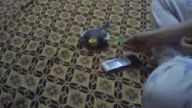 Sultan marul yiyor