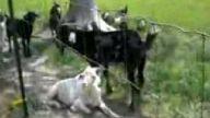 garip sesli keçi