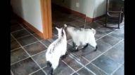 İlk kez ayne gören keçi