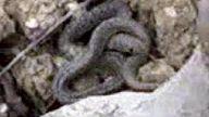 yılan yavrusu