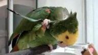 Kaşınan papağan