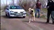 Dünyanın En Güçlü Köpeği - Sivas Kangalı