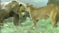 Yavrusu İçin Kendisini Feda Eden Puma