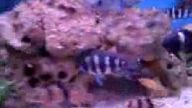 akvaryum frontoza tropeus