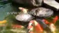 balıkları besleyen ördek yavrusu