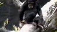 gariban maymun