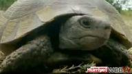 Kartalın Kaplumbağa Avı!