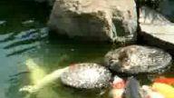 Yardım Sever Ördek
