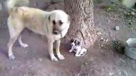 enikler bigün coban köpeği olacak