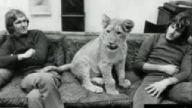 aslan, hayvan sevgisi