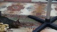 Uçan kedi tıklanma rekoru kırdı!