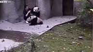 Şirinlik Patlaması Yaşayan Muzip Pandalar